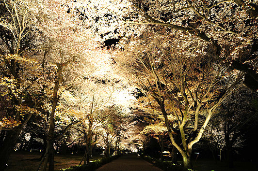 Cherry blossom light up in spring