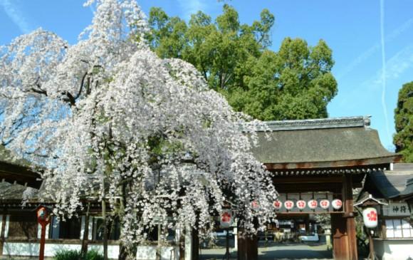 Sakigake Sakura