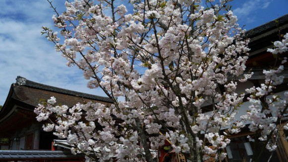 Jishu cherry blossoms