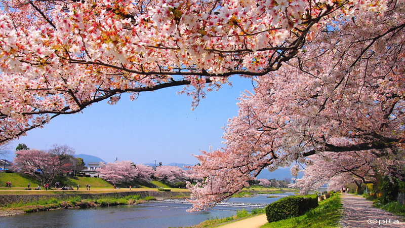 Staff Recommended Places To Visit During Cherry Blossom Season