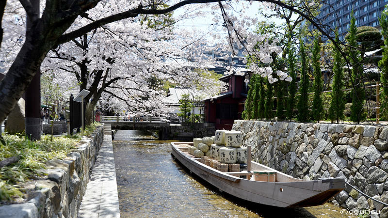 Cherry blossoms within the city