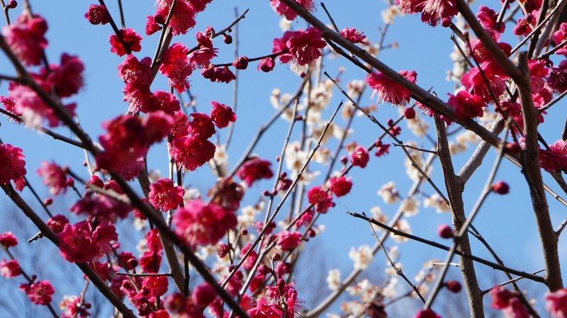 Leading You to Plum Blossom's Season in Kyoto